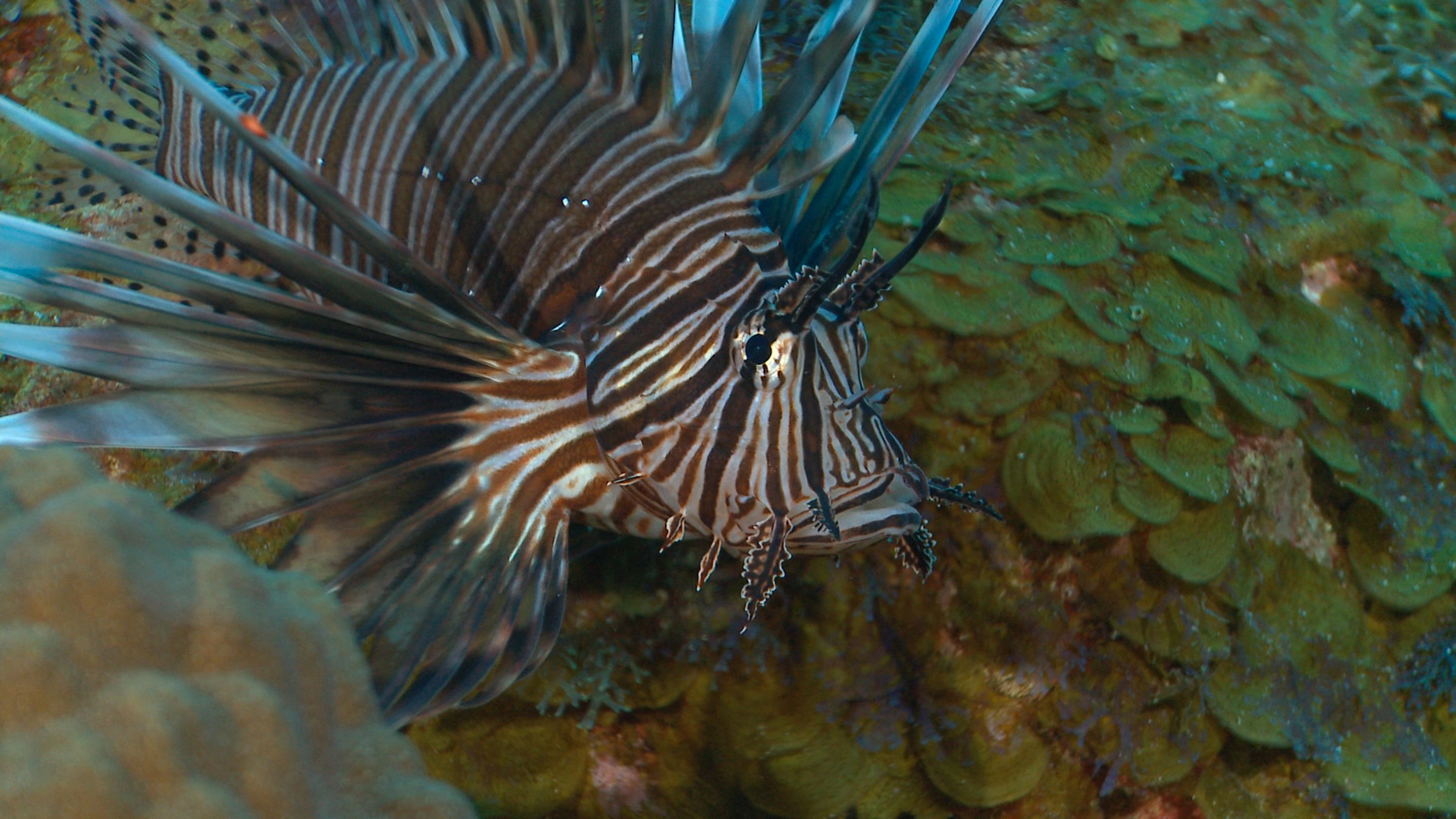 Invasive species Lionfish