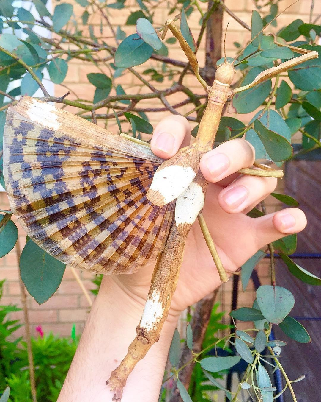 """⨂ Eggs - Giant Stick Insect, (Phasma gigas """"Jailolo"""")"""