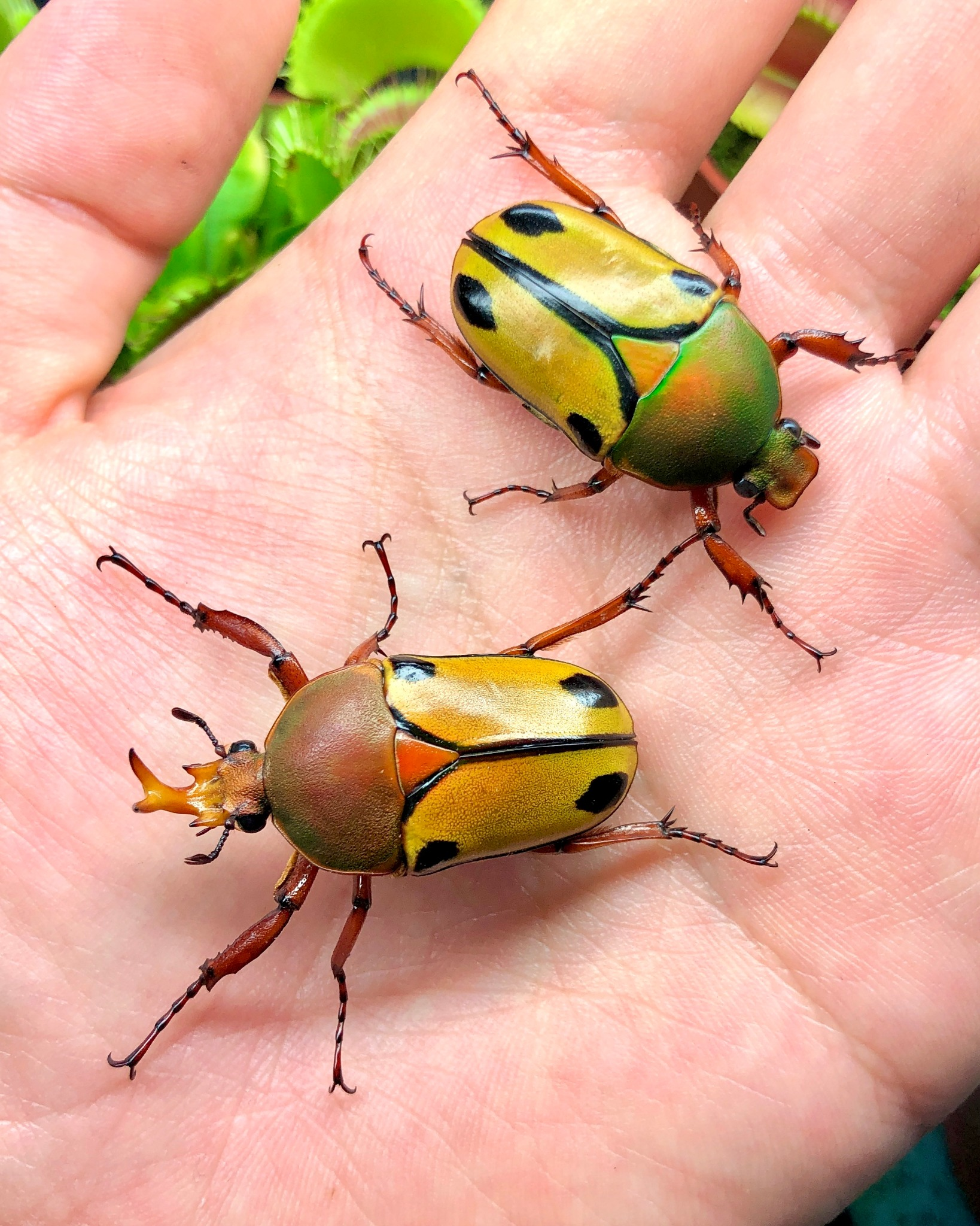 ⨂ ADULTS - Horned Flower Beetle, (Eudicella smithii)