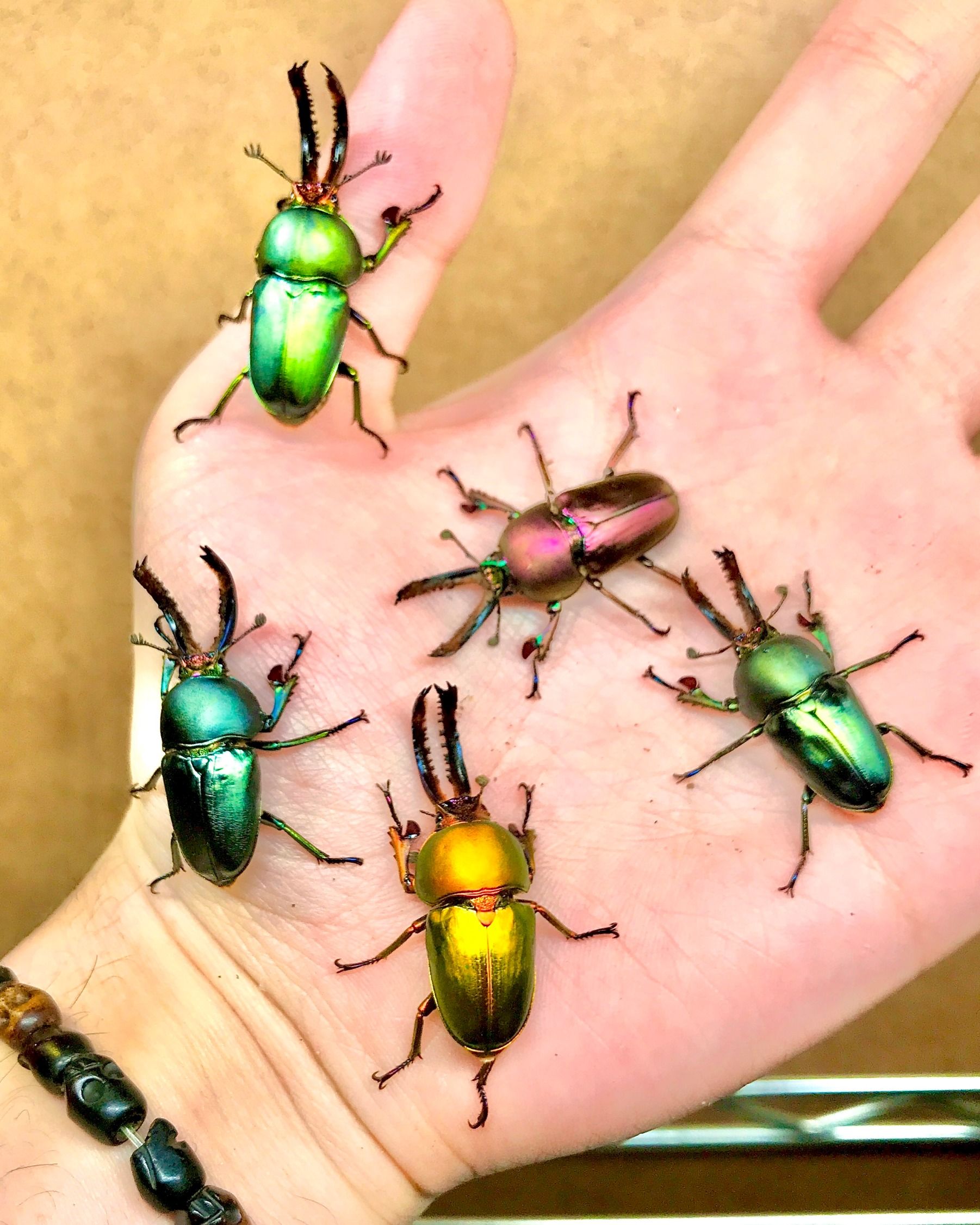 ADULTS - Jewel Stag Beetle, (Lamprima adolphinae)