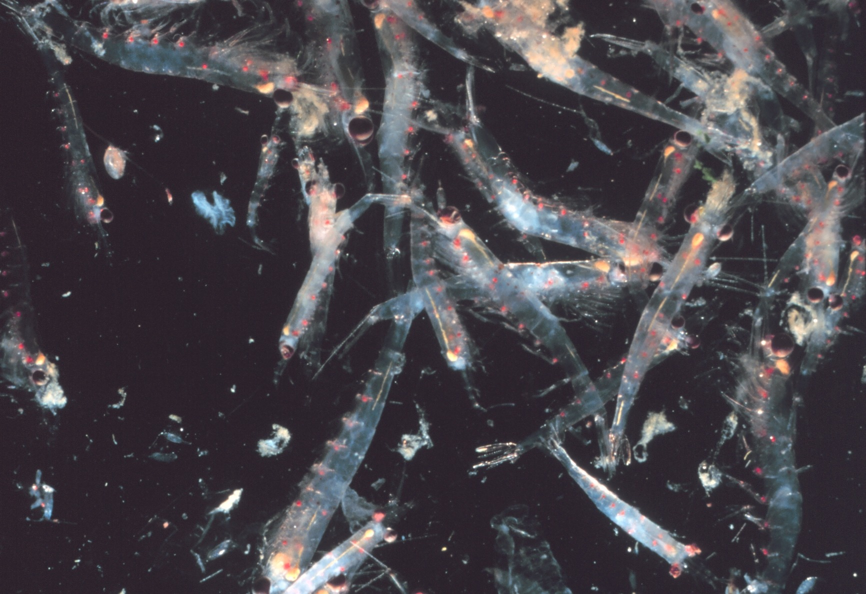 KRILL - A Vital Ocean Forage Species