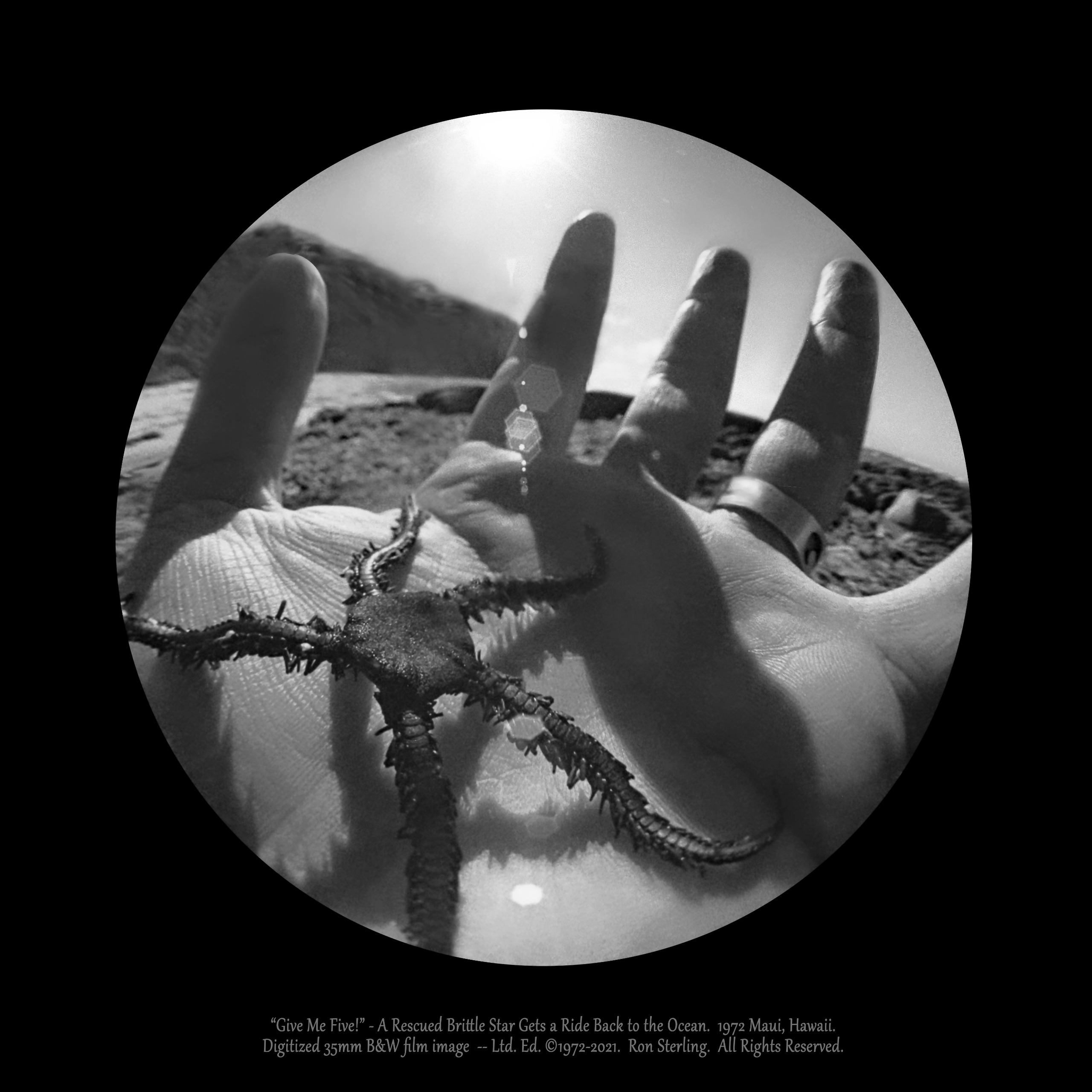 """""""Give Me Five!""""  A Brittle Star Gets Rescued from Gulls. Maui, Hawaii, 1972."""