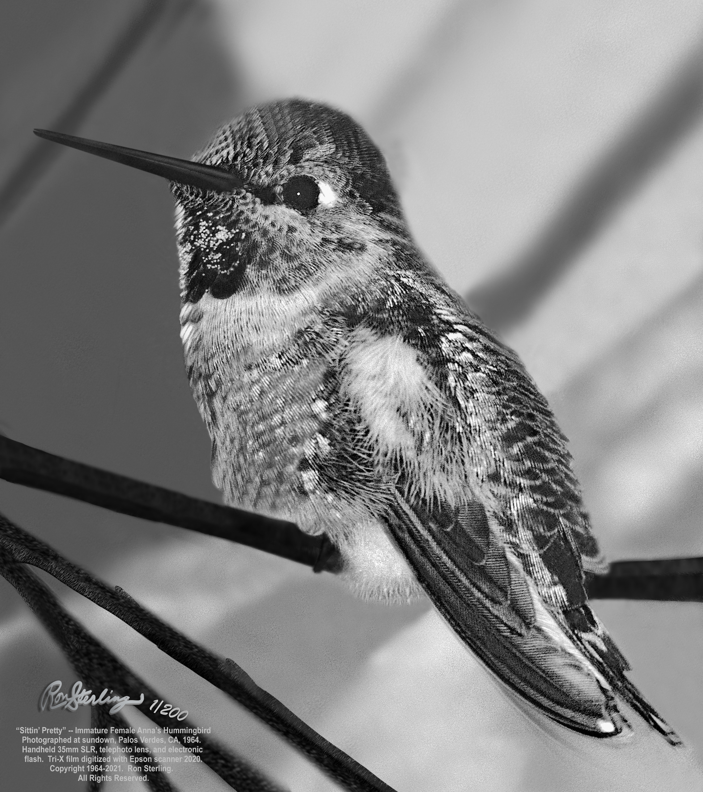 Exquisite New Print from Vintage 35mm Black and White Film, Hummingbird in Ansel Adams Style