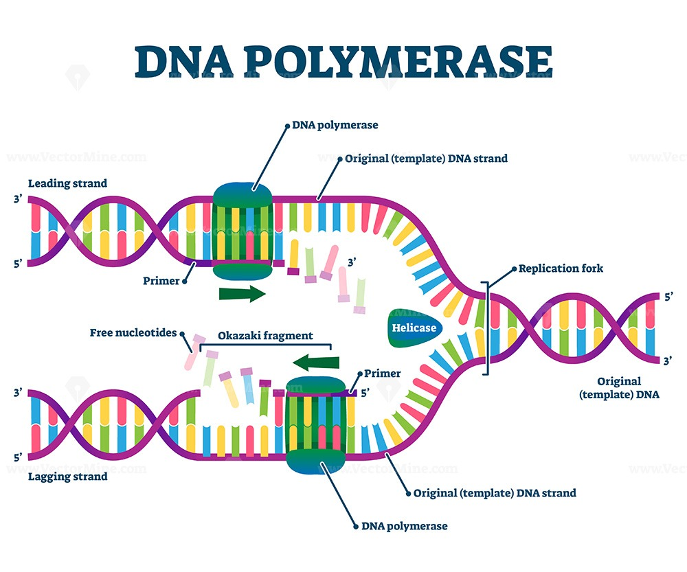 DNA Polymerase enzyme syntheses labeled educational vector illustration