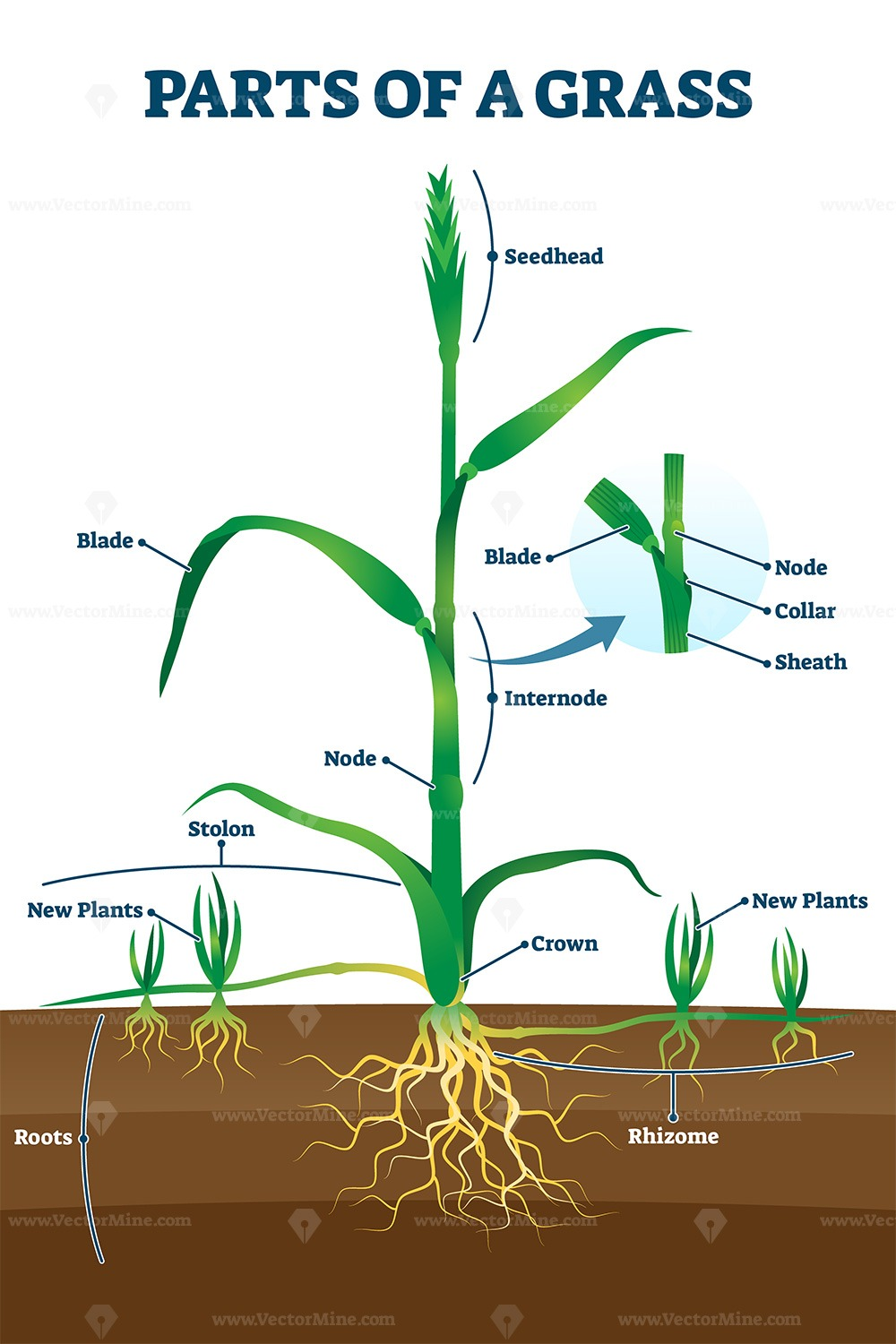 Parts of grass with educational labeled structure anatomy vector illustration