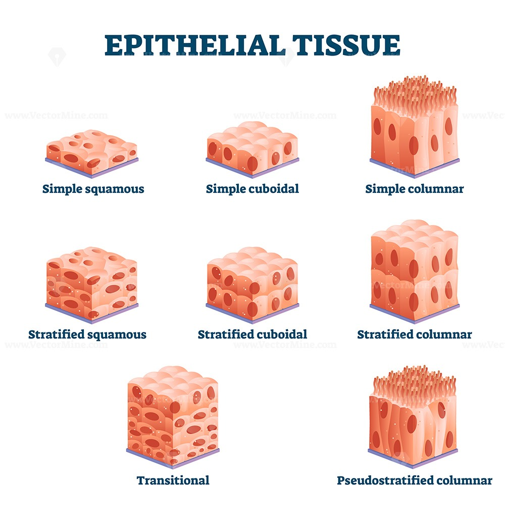 Epithelial tissue with labeled squamous, cuboidal and columnar examples