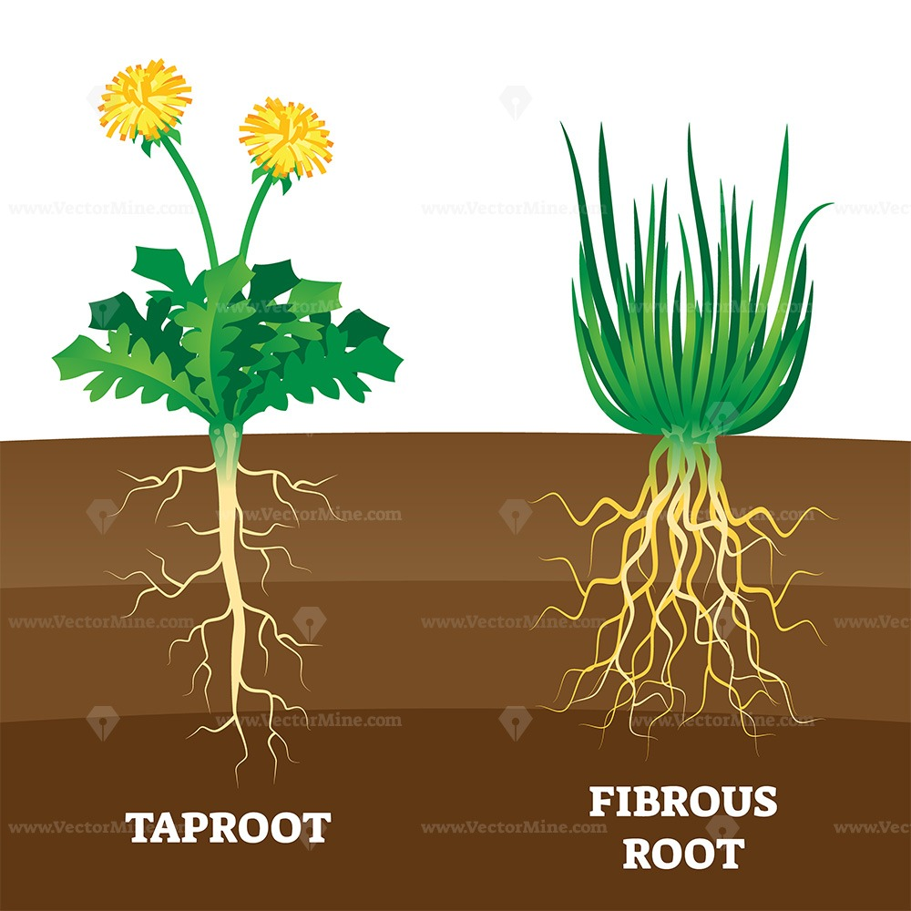 Taproot and fibrous root example comparison vector illustration scheme