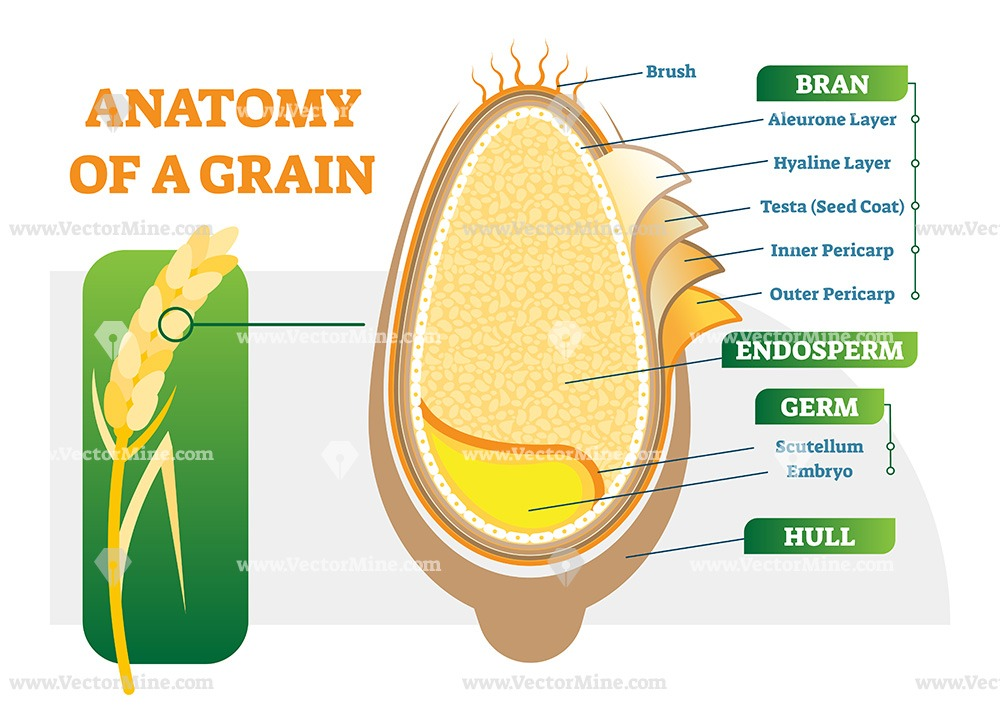 Grain anatomical layers vector illustration diagram