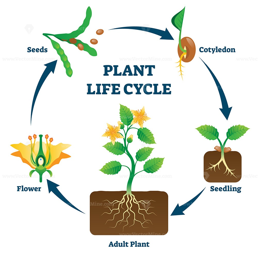 Plant life cycle vector illustration