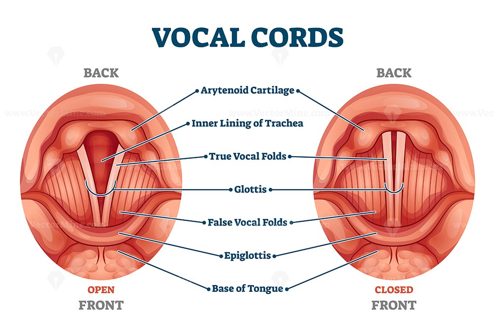 Vocal cords labeled anatomical and medical structure and location scheme