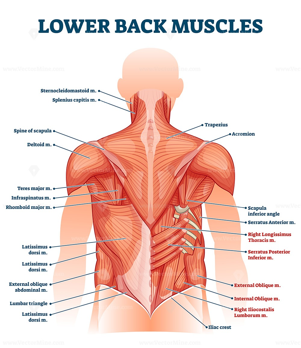 Lower back muscles labeled educational anatomical scheme vector illustration