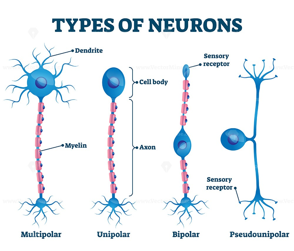 Types of neurons vector illustration