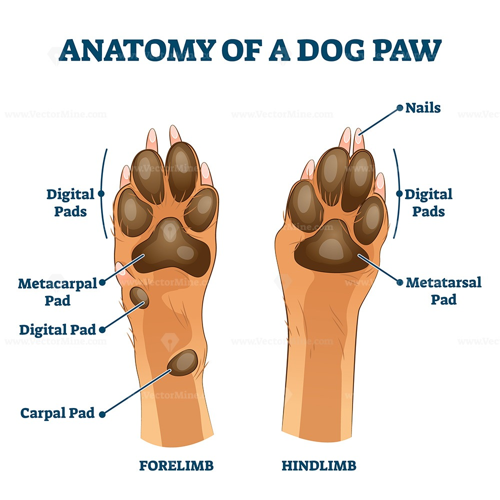 Anatomy of dog paw structure with forelimb and hindlimb vector illustration