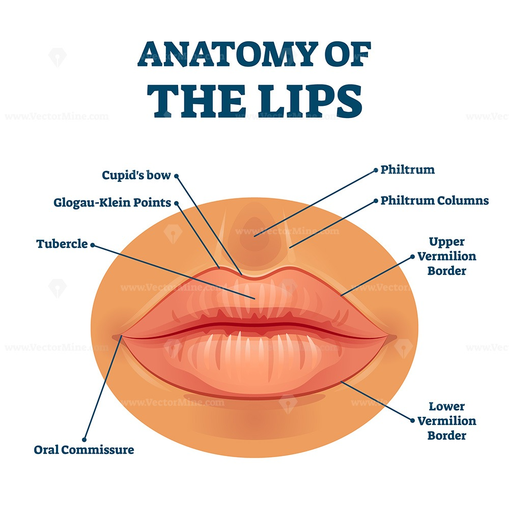Anatomy of lips with detailed labeled parts description vector illustration