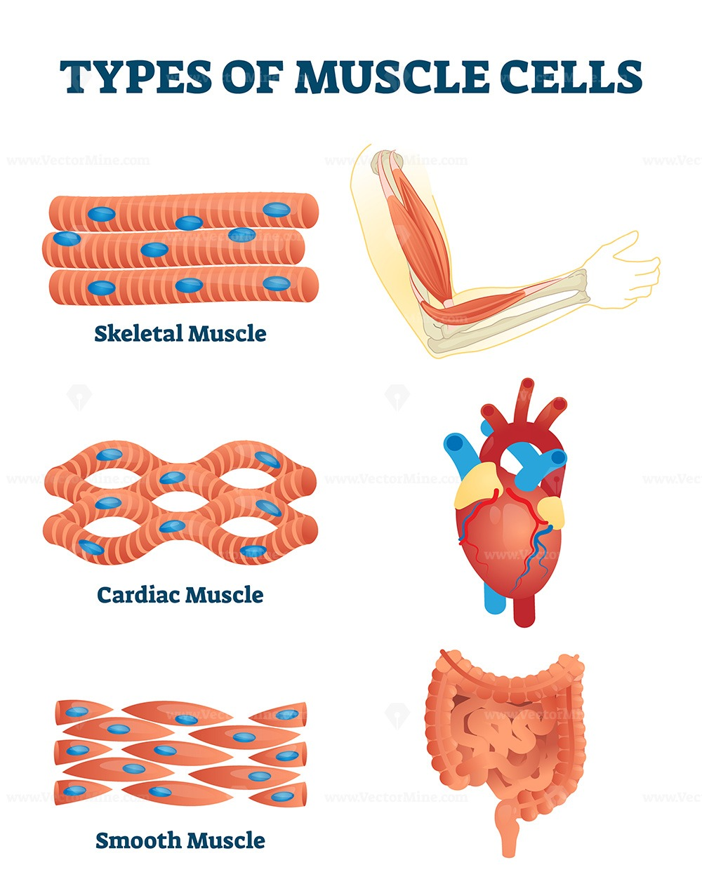 Types of muscle cells vector illustration