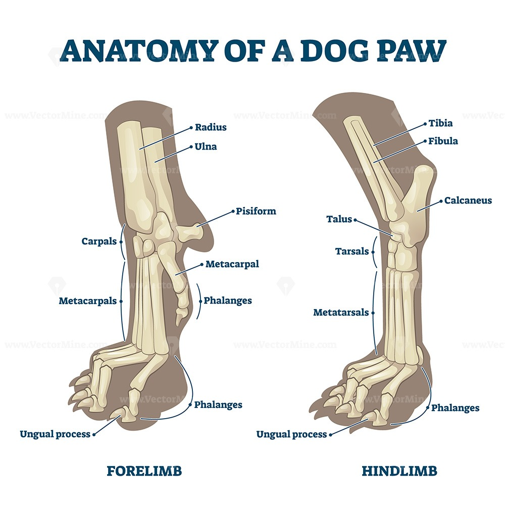 Anatomy of dog paws with forelimb and hindlimb bones vector illustration