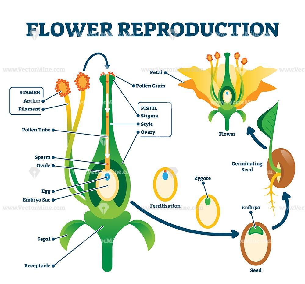 Flower reproduction vector illustration