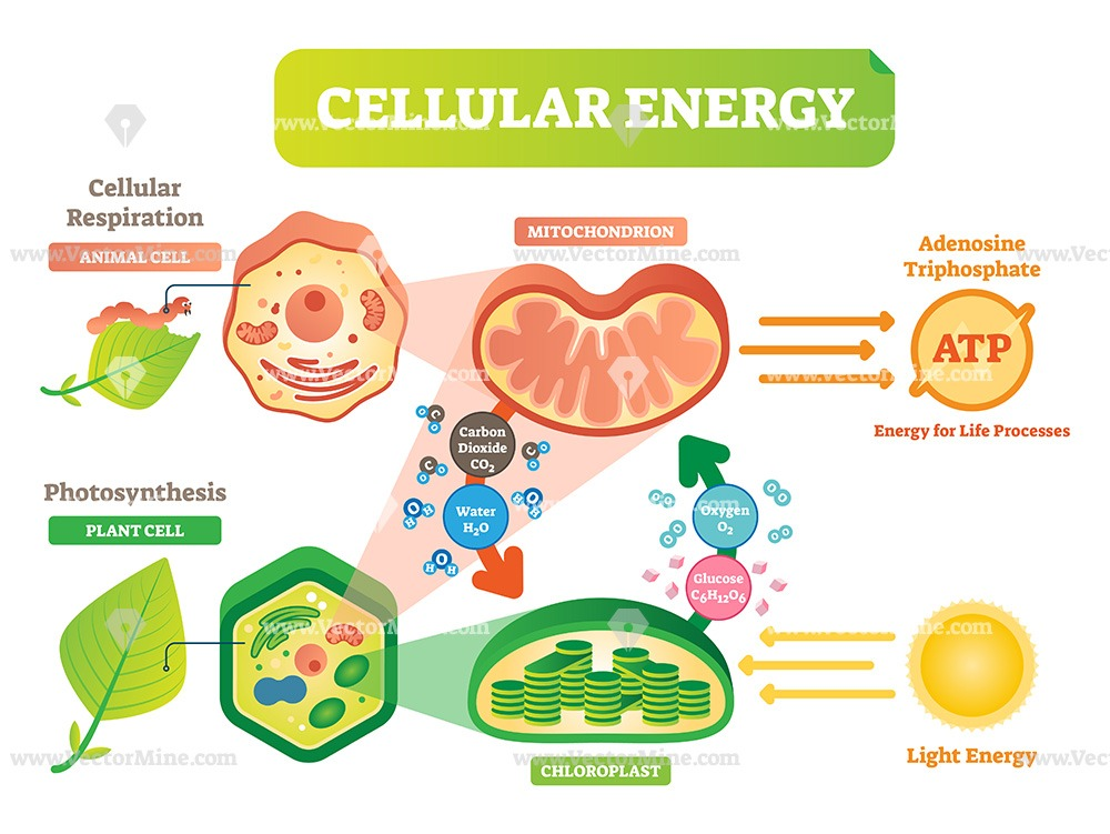 Animal and plant cell energy cycle vector illustration ...