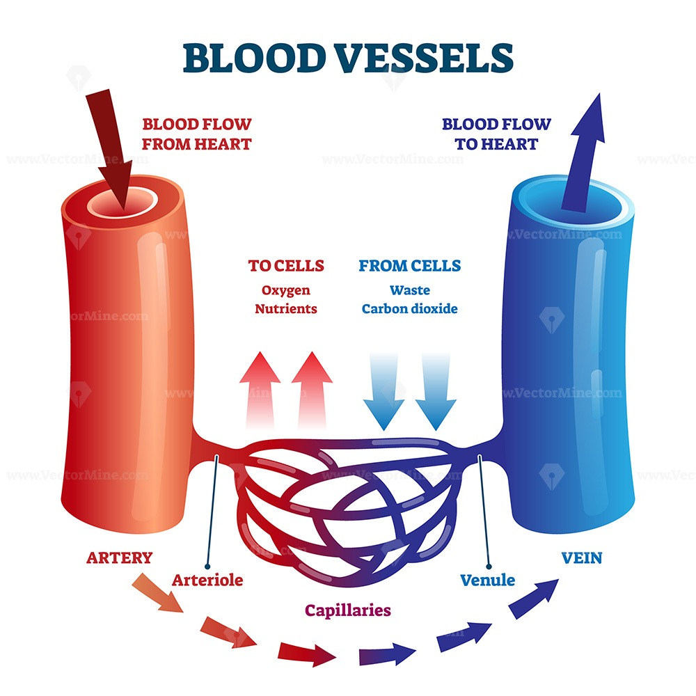 Blood vessels scheme with heart and cells flow direction ...