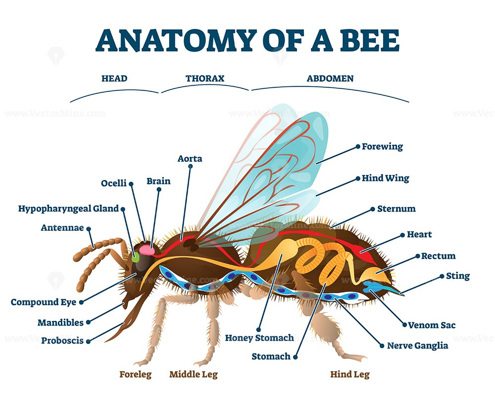 Anatomy of bee with inner organs educational scheme vector illustration
