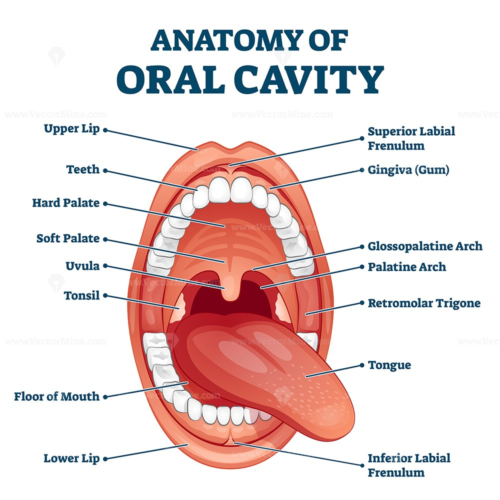 Oral cavity anatomy with educational labeled structure vector illustration
