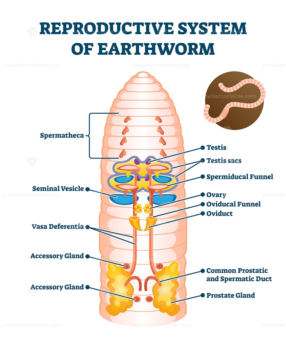 Reproductive system of anatomical earthworm labeled scheme vector illustration