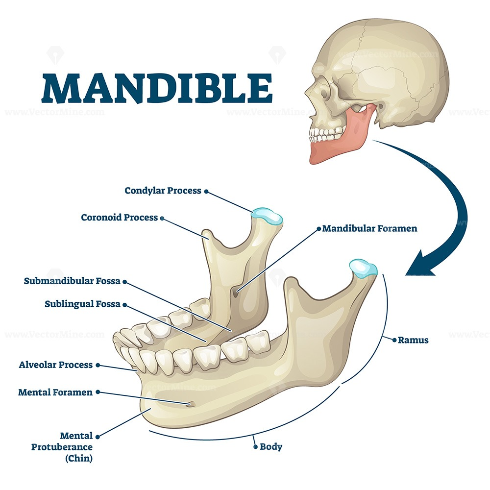 Mandible jaw bone labeled anatomical structure scheme vector illustration