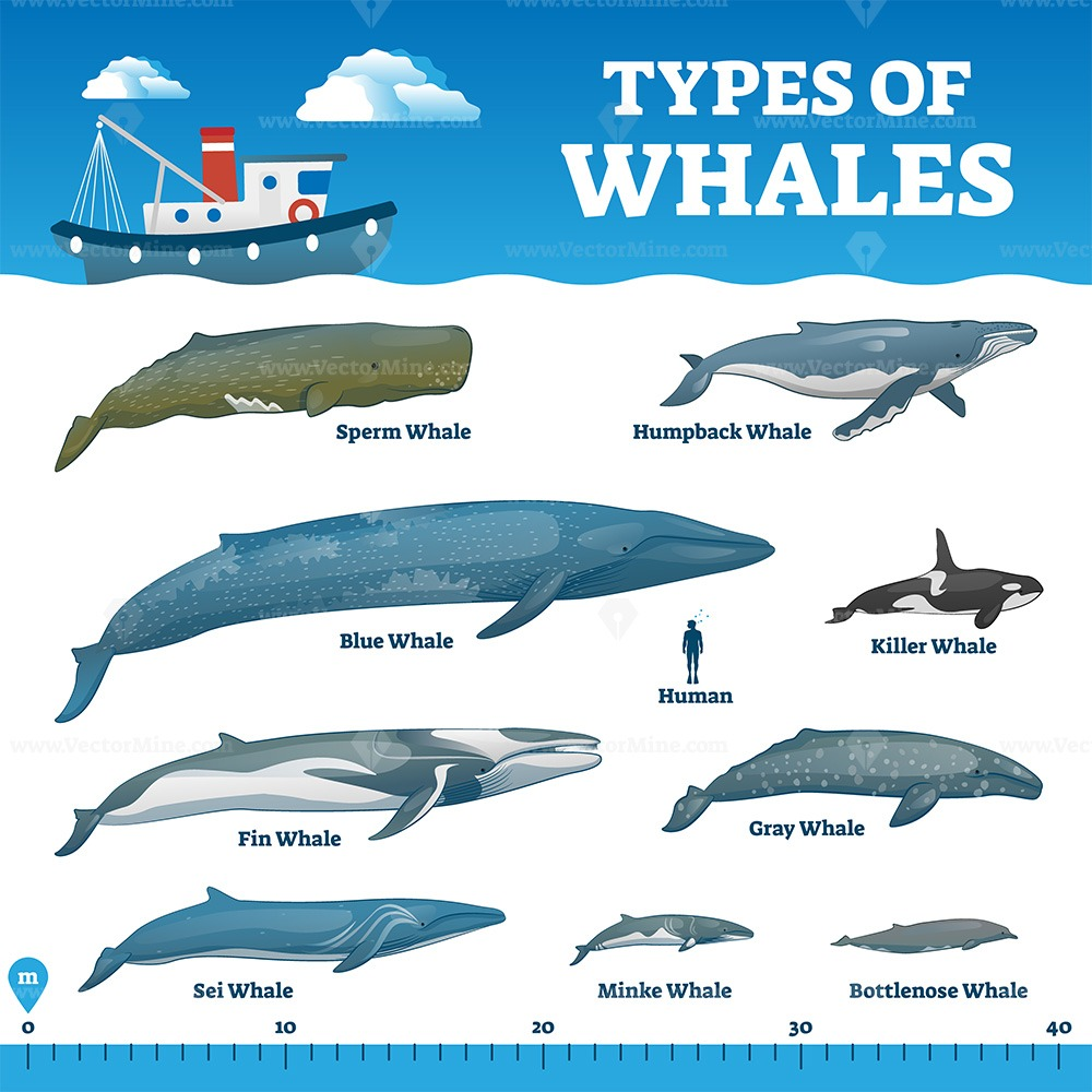 Types of whales educational labeled wildlife comparison vector illustration