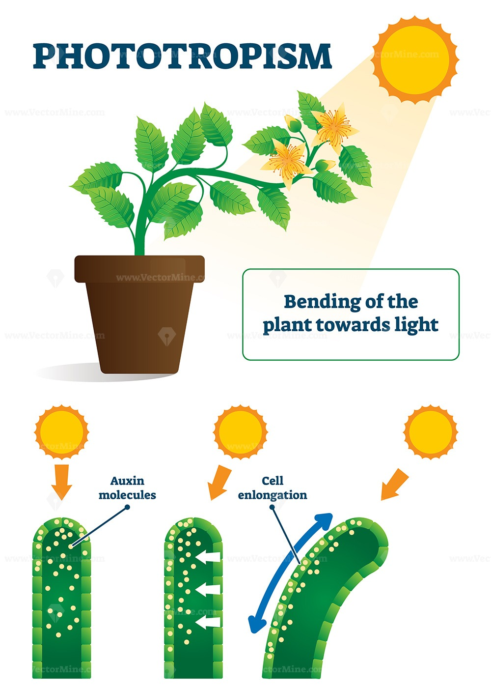 Phototropism vector illustration
