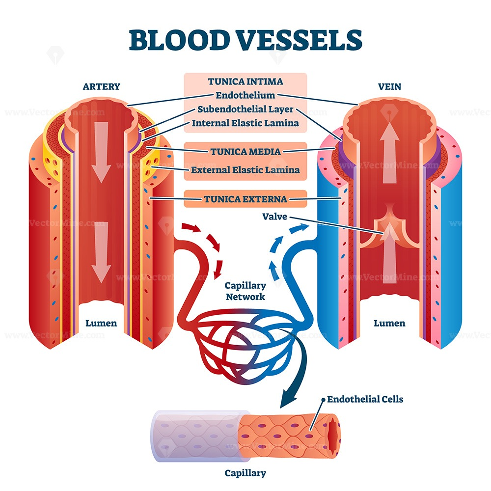 Blood vessels with artery and vein internal structure vector illustration