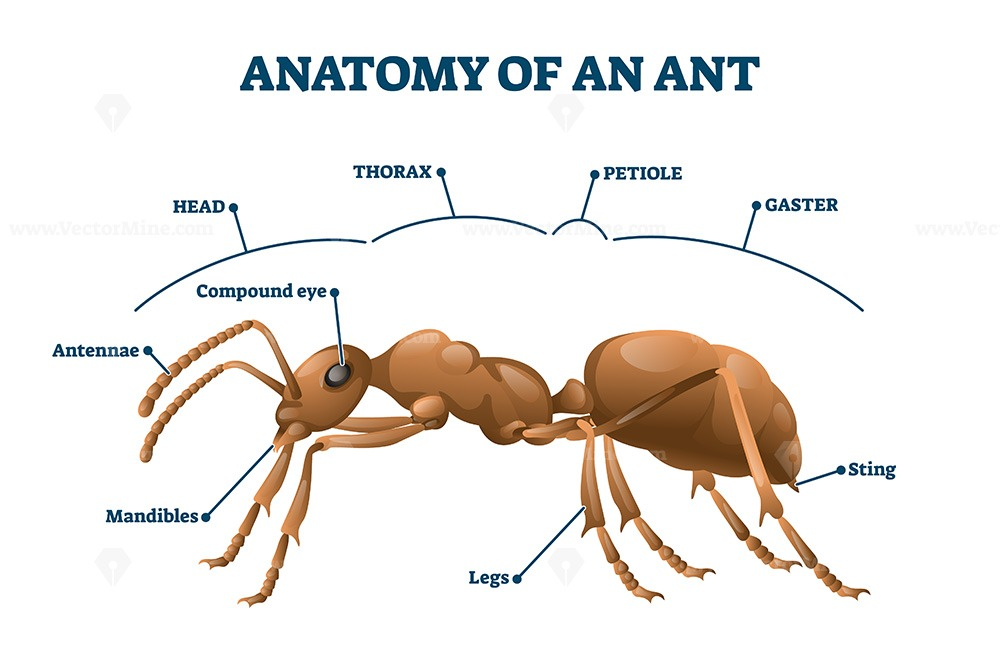 Ant anatomical structure vector illustration