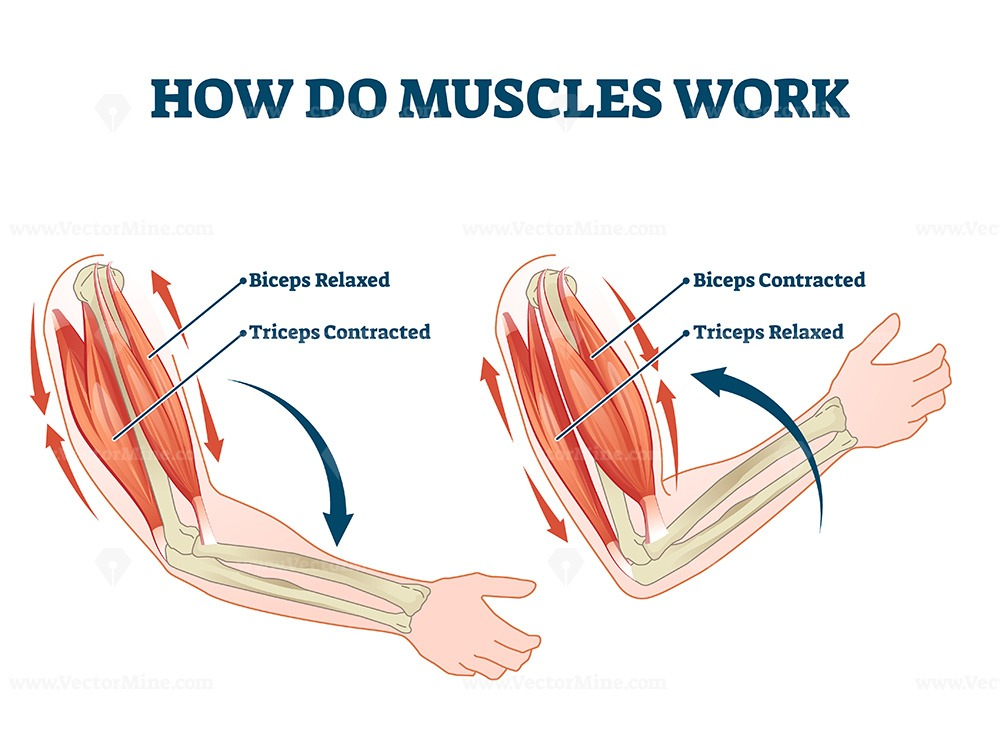How do muscles work labeled principle explanation scheme vector illustration