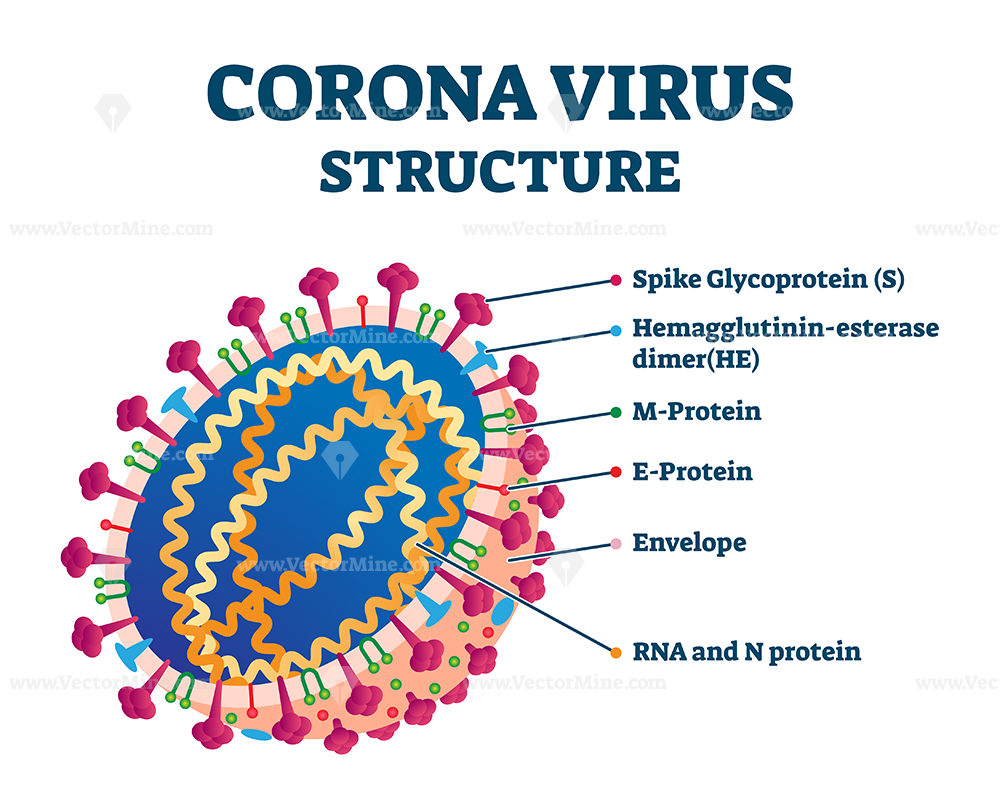 FREE Corona virus biological structure, labeled vector illustration diagram