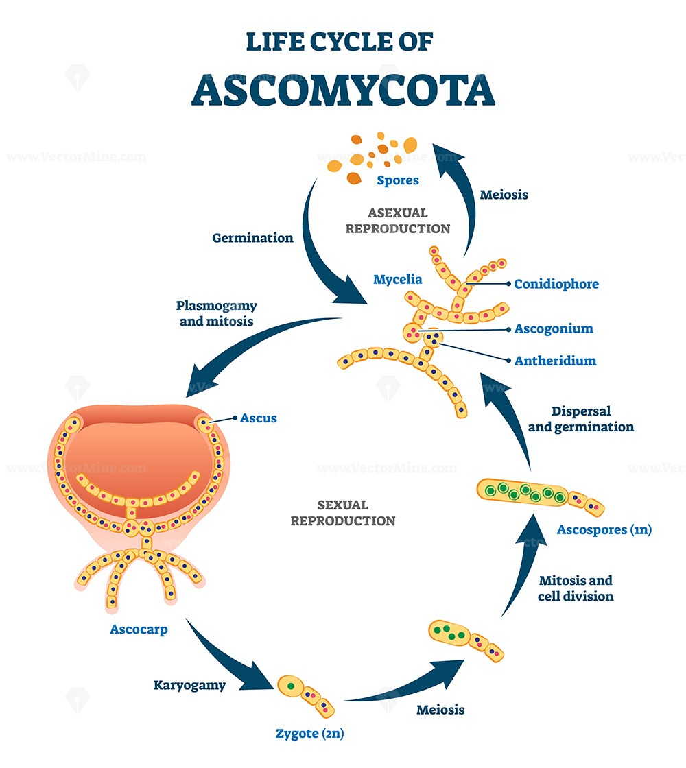 Life cycle of ascomycota vector illustration