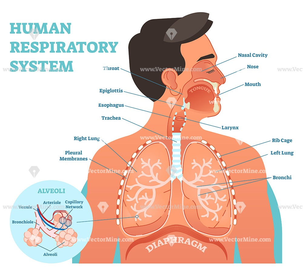 Human respiratory system anatomical vector illustration diagram