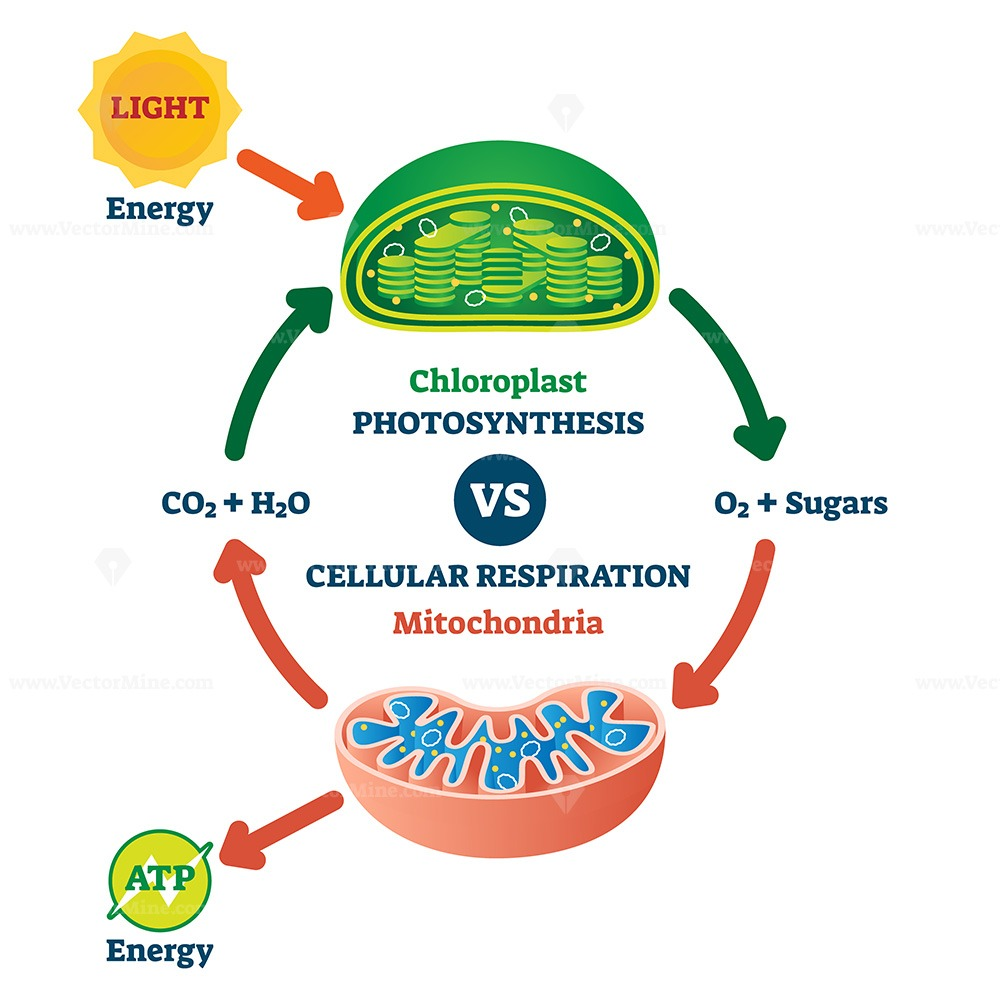 Chloroplast vs mitochondria process educational scheme vector illustration
