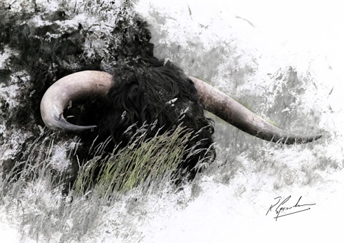 Bull in long Grass