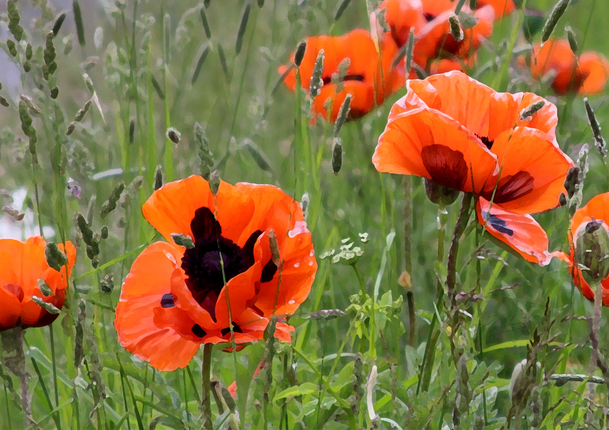 'Poppies by the Road Side'