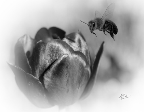 To Bee a Black Tulip