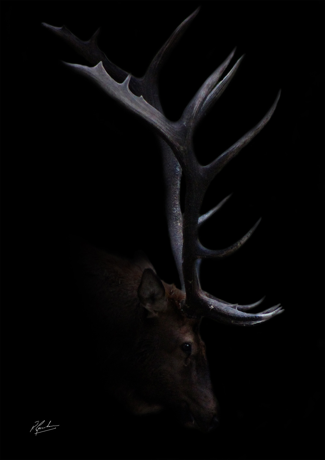 'Bull Elk in Black '