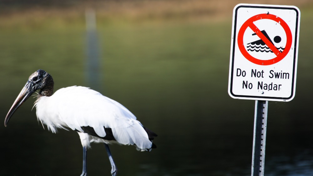 Egret No Swimming Sign (Photo)