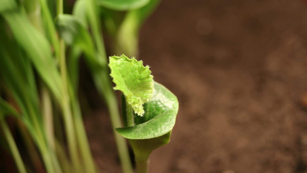 Pumpkin Leaf Wide (Time-Lapse)