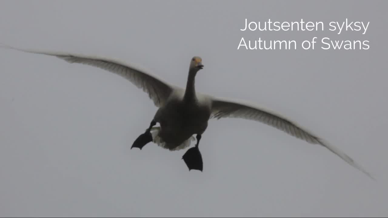 Joutsenten Syksy-Autumn of Swans Video