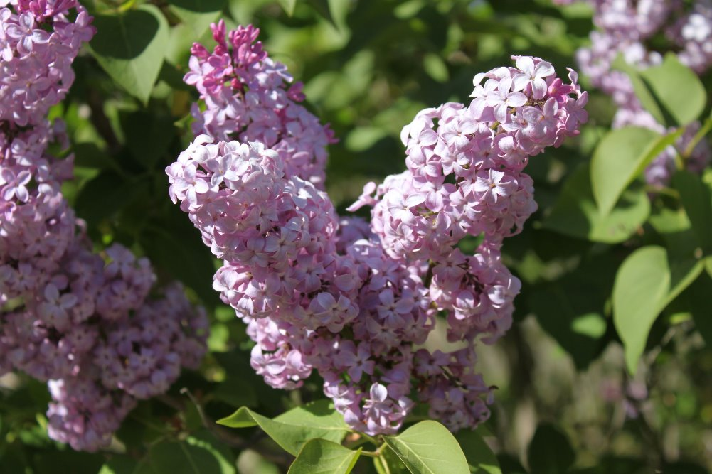 Lilac Slideshow with Classical Music